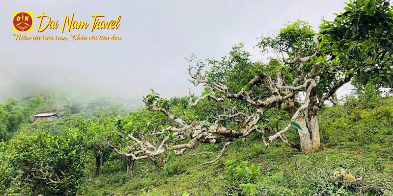 Shan-Tuyet-tea-tree.